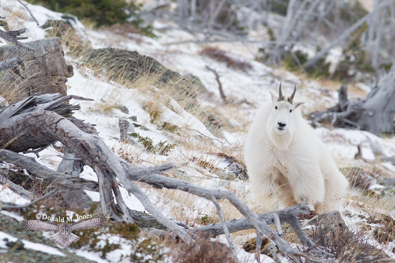 Mountain-Goat02305D