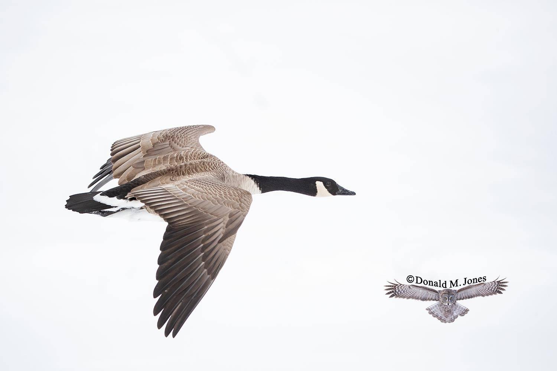 Canada-Goose1418D