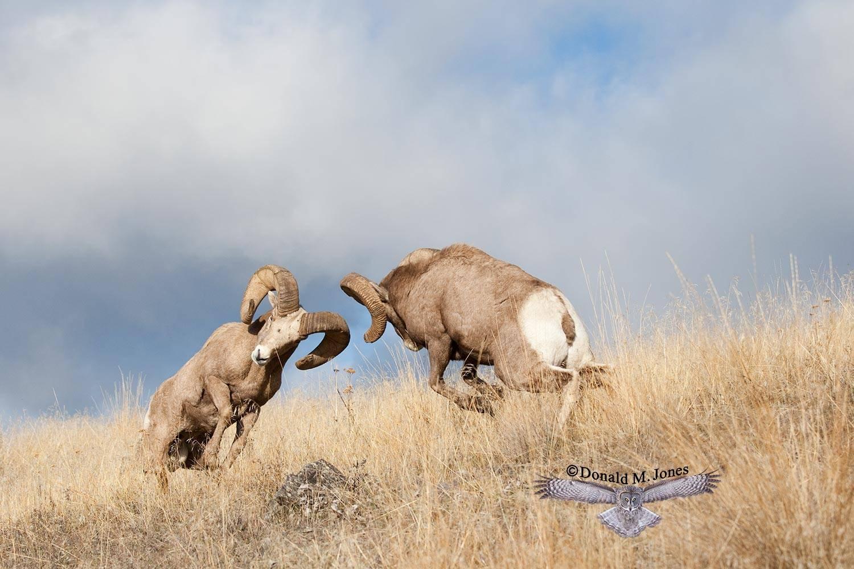Bighorn-Sheep03959D