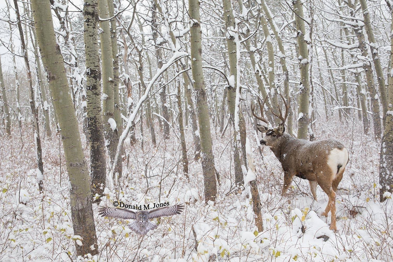 Mule-Deer09625D