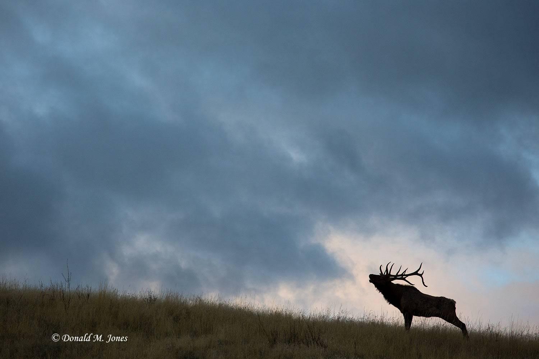 Elk-(Rocky-Mtn)23918D