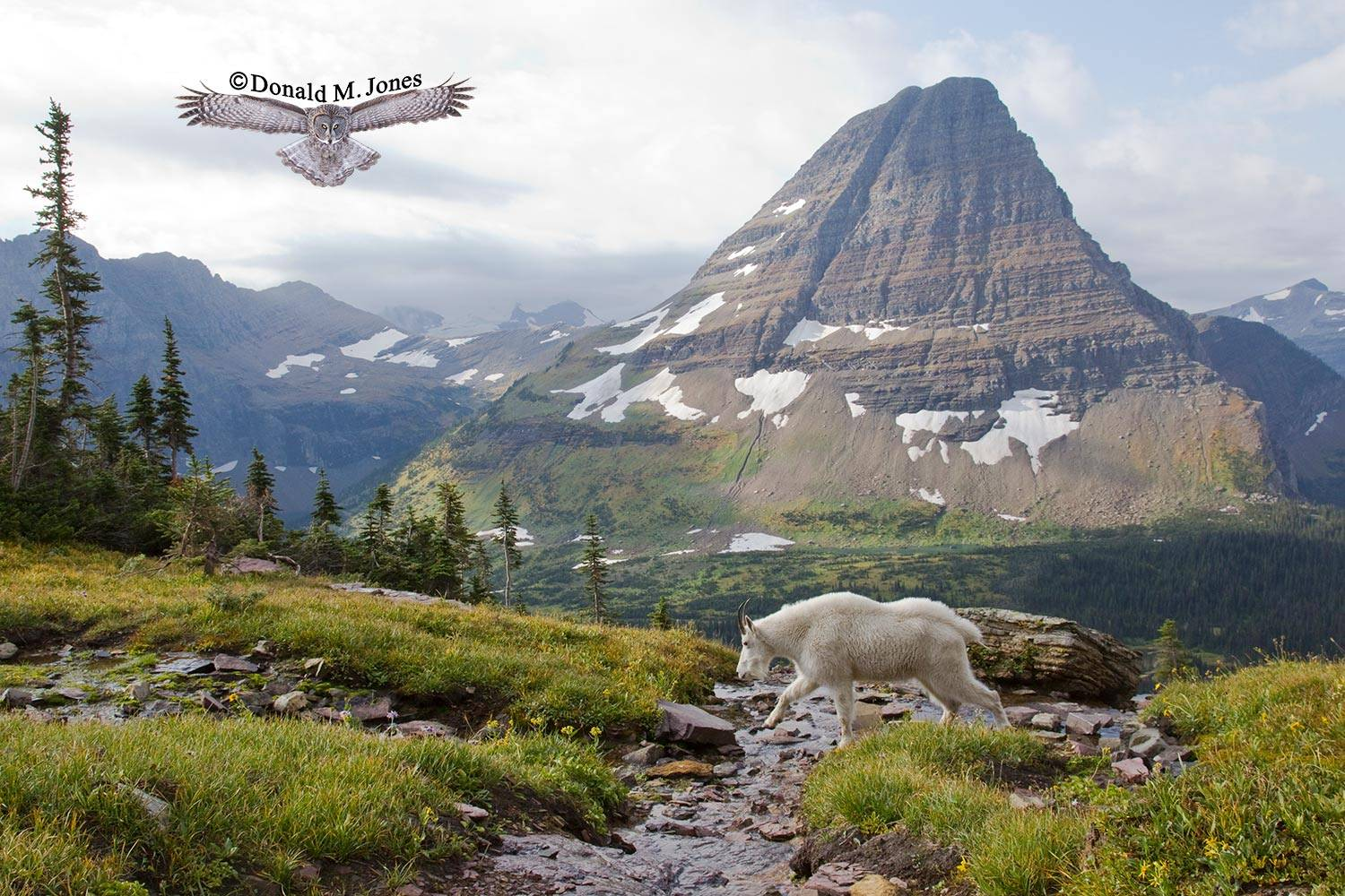 Mountain-Goat02155D