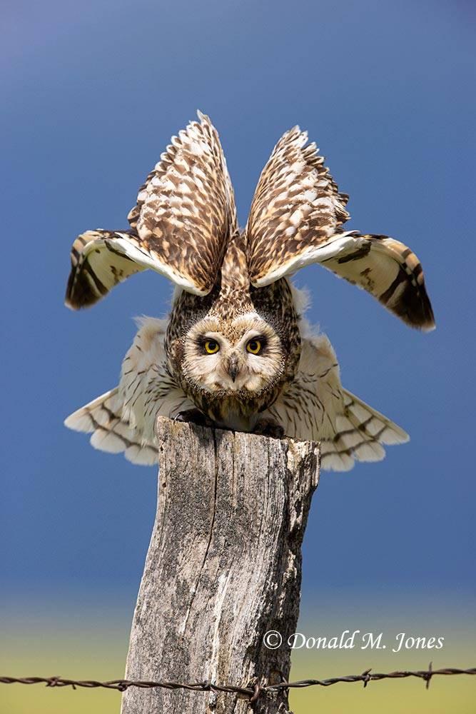 Short-eared-Owl0564D