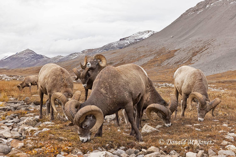 Bighorn-Sheep06640D