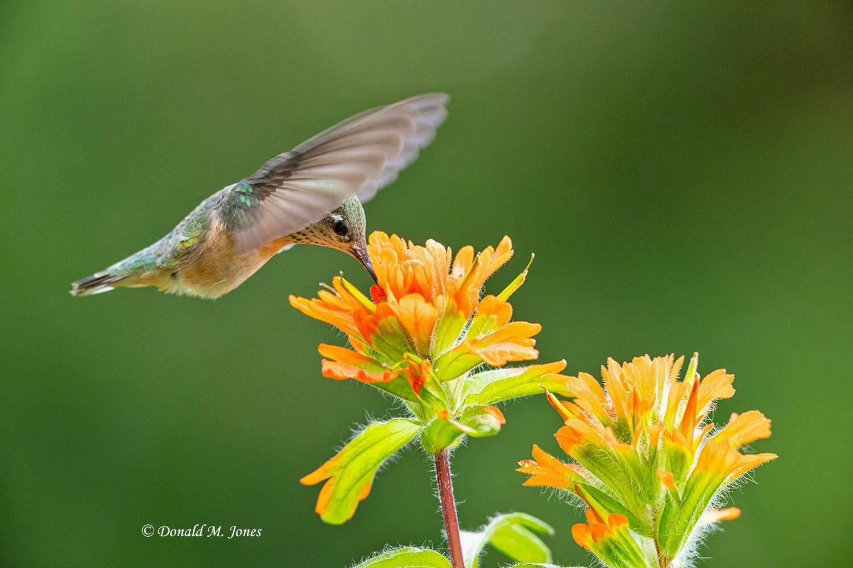 Calliope-Hummingbird0430D