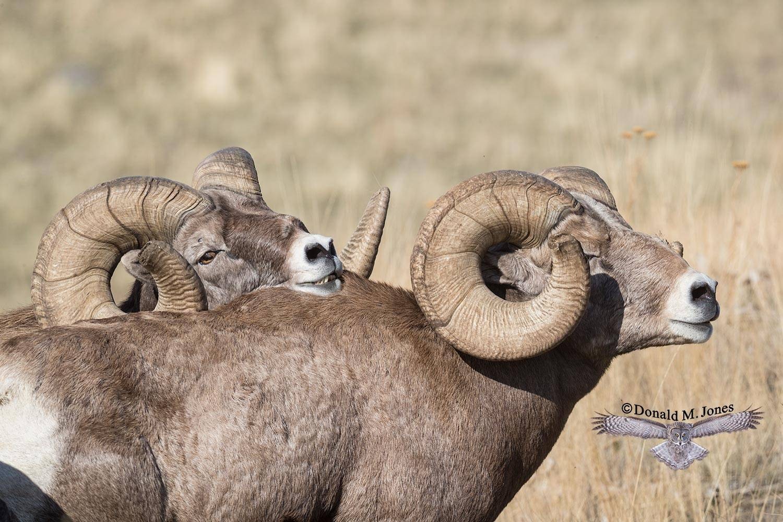 Bighorn-Sheep05857D