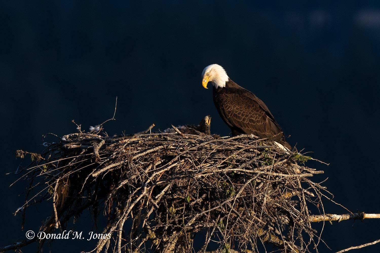 Bald-Eagle1186D