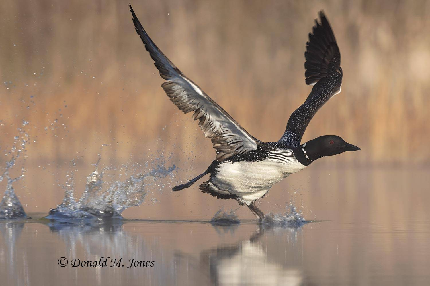 Common-Loon1851D