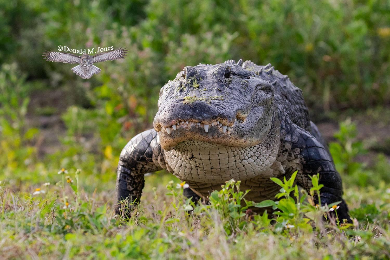 American-Alligator0380D