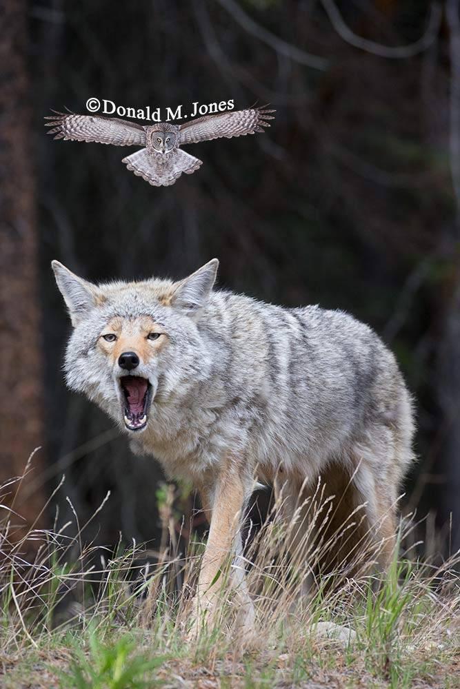 Coyote02325D