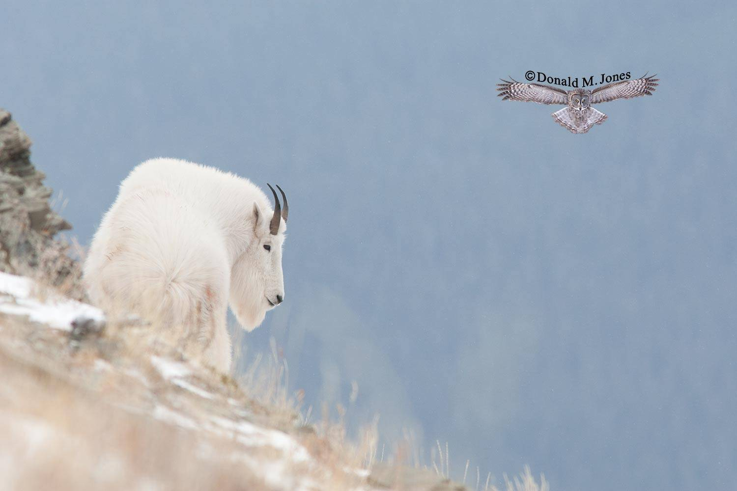 Mountain-Goat02222D