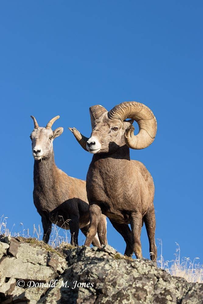 Bighorn-Sheep06498D