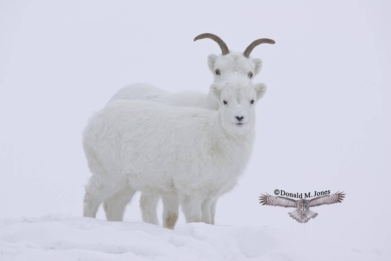 Dall-Sheep00976D