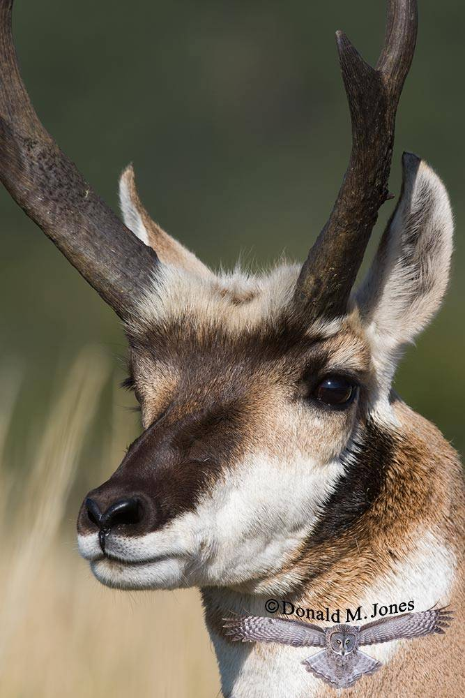 Pronghorn-Antelope02892D