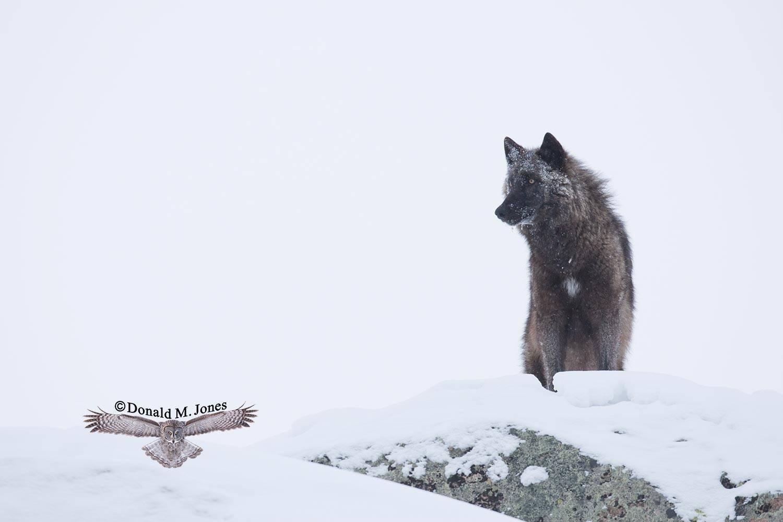 Wolf0562D