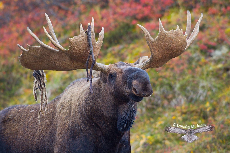 Moose03624D