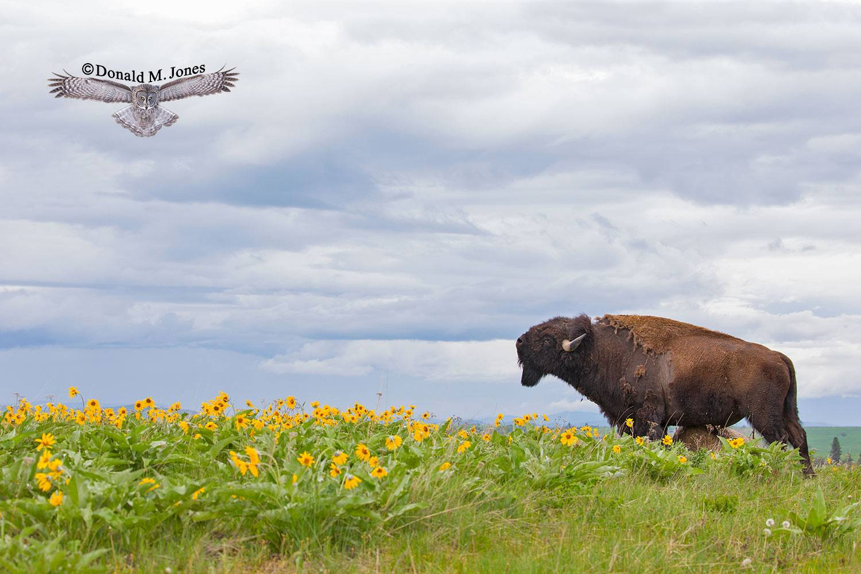 American-Bison2490D