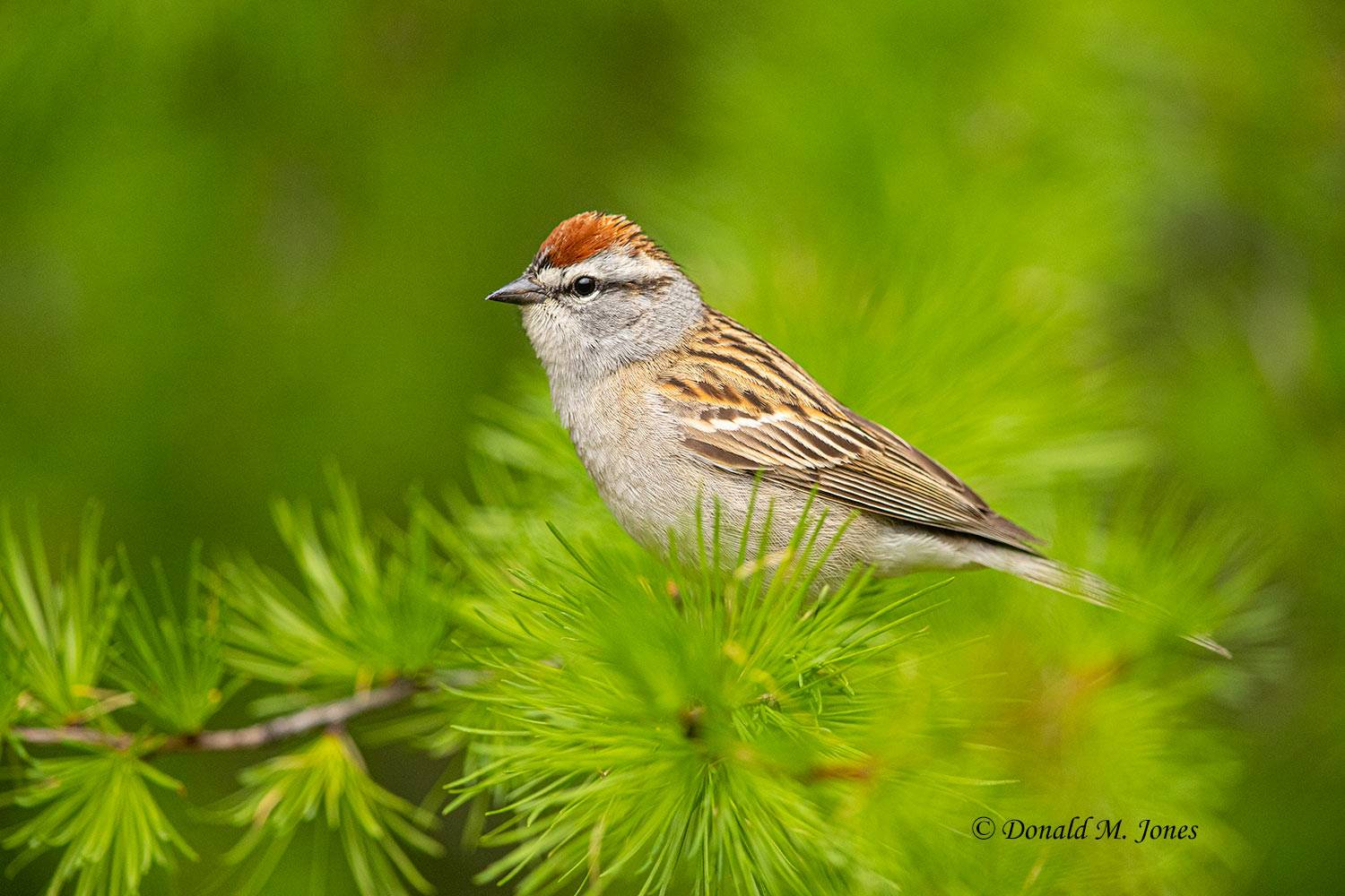 May 12, Chipping Sparrow