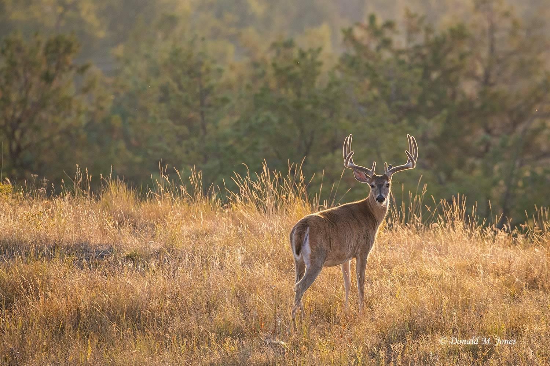 Whitetail-Deer58987D