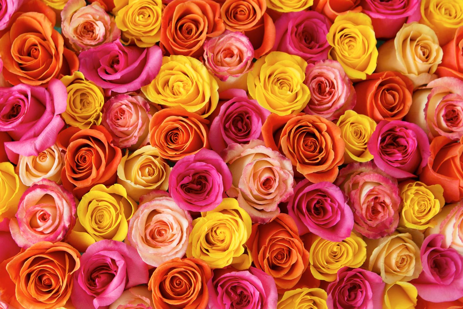 Midnight Rose_1.jpg