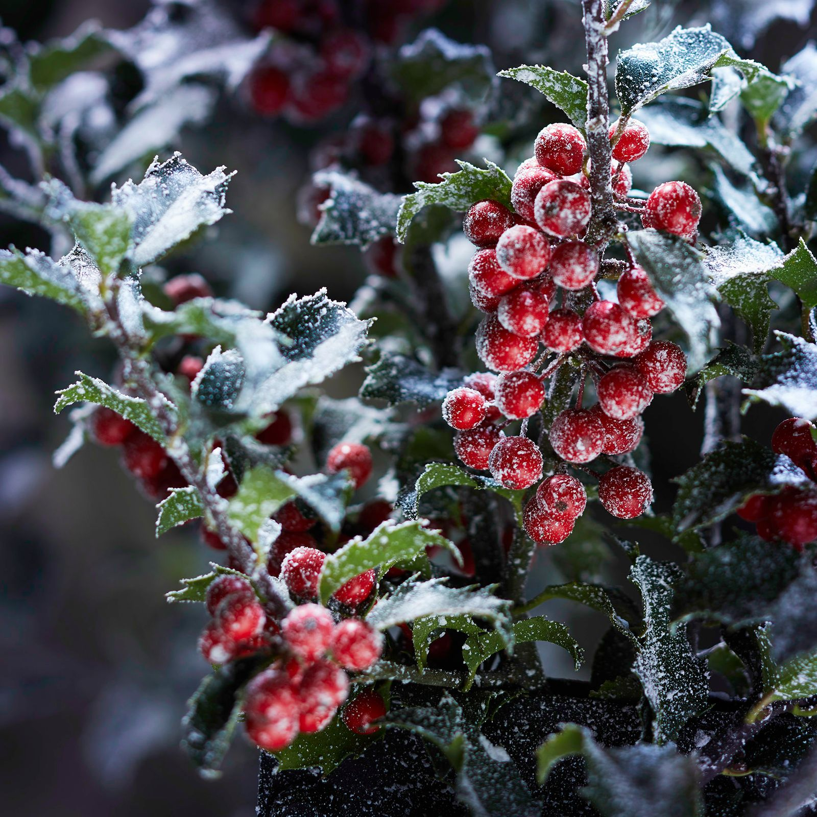 Frosted Hollyberry.jpg