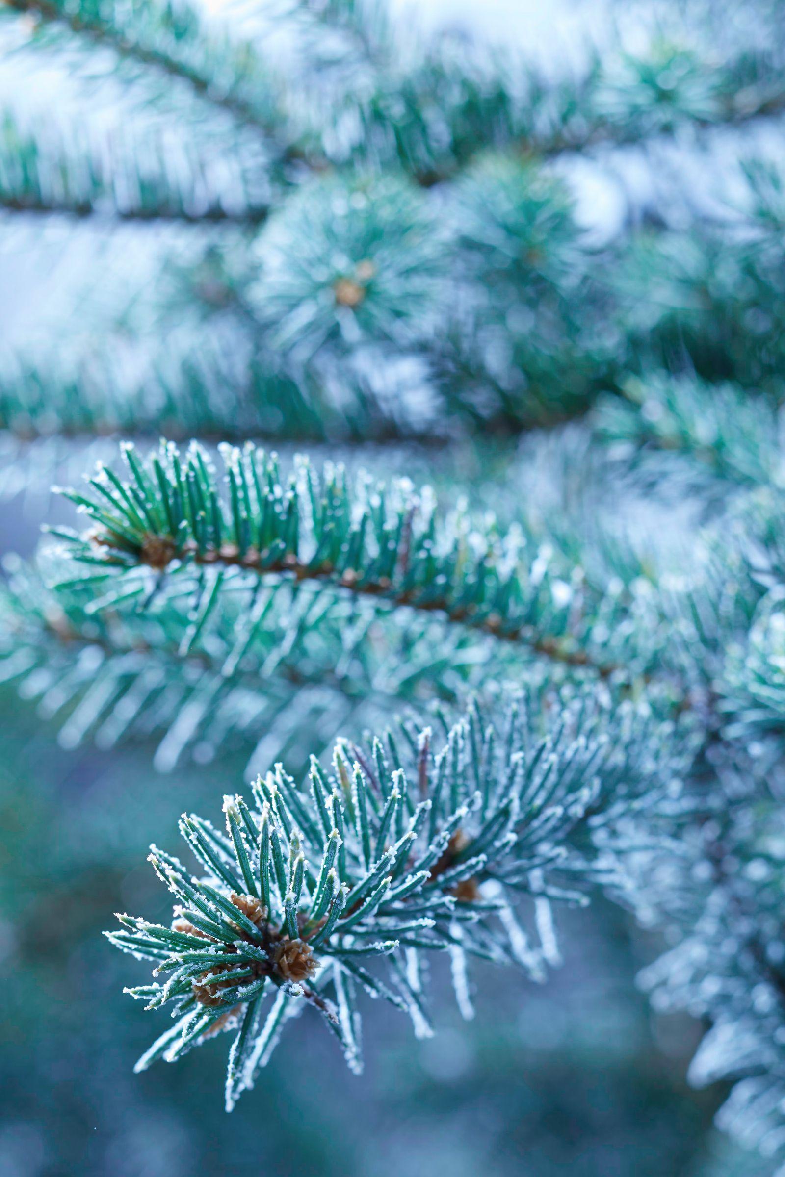 Icy Blue Sprucer.jpg