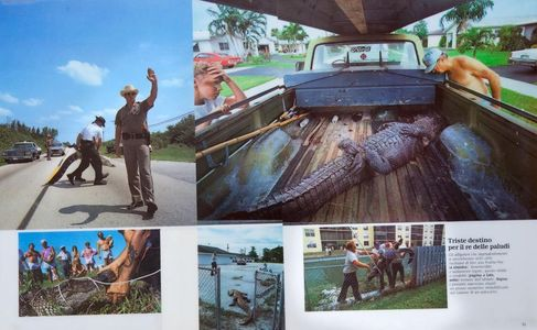 1Nuisance_alligators_removed_in_Florida.jpg