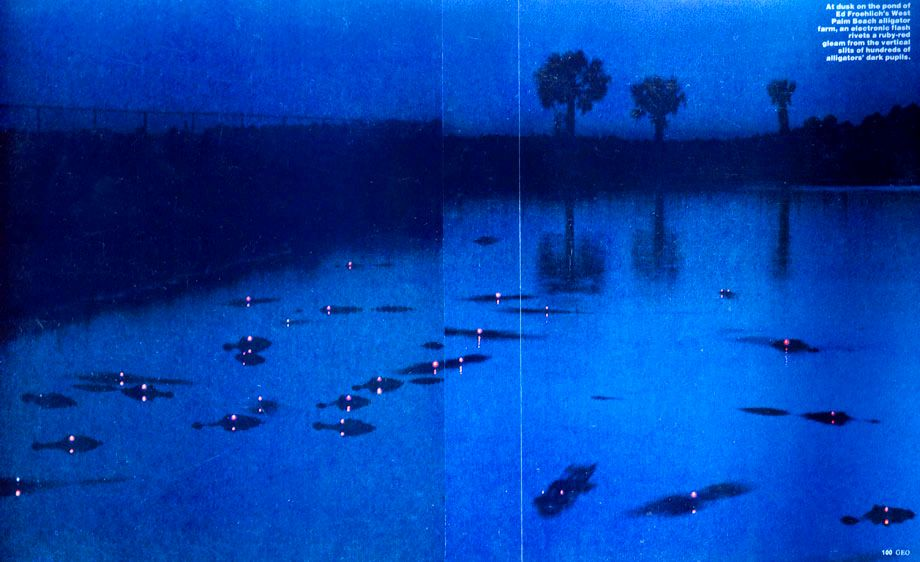 1Aligators_on_a_pond_at_dusk.jpg