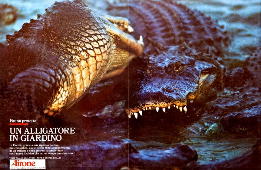 1American_Alligators.jpg
