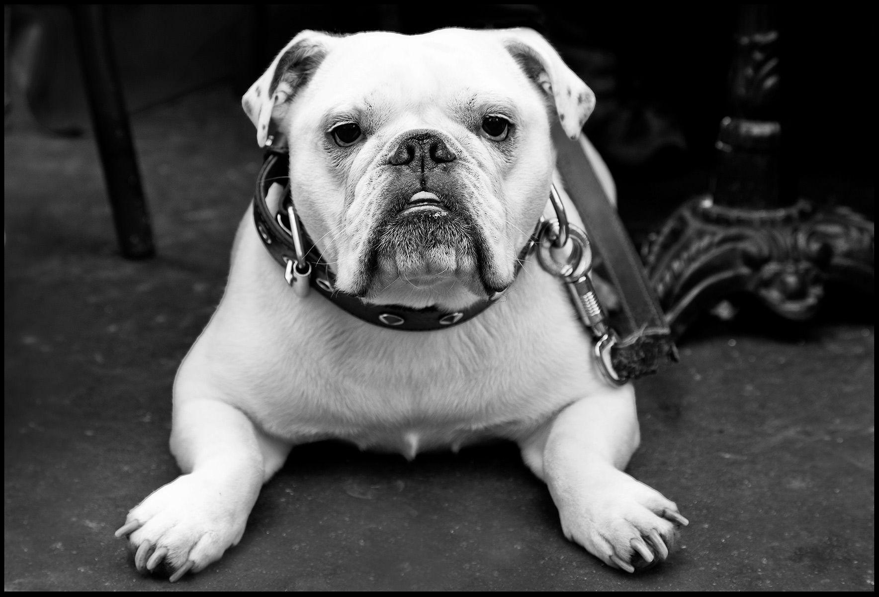 English Bulldog, Paris Bistro