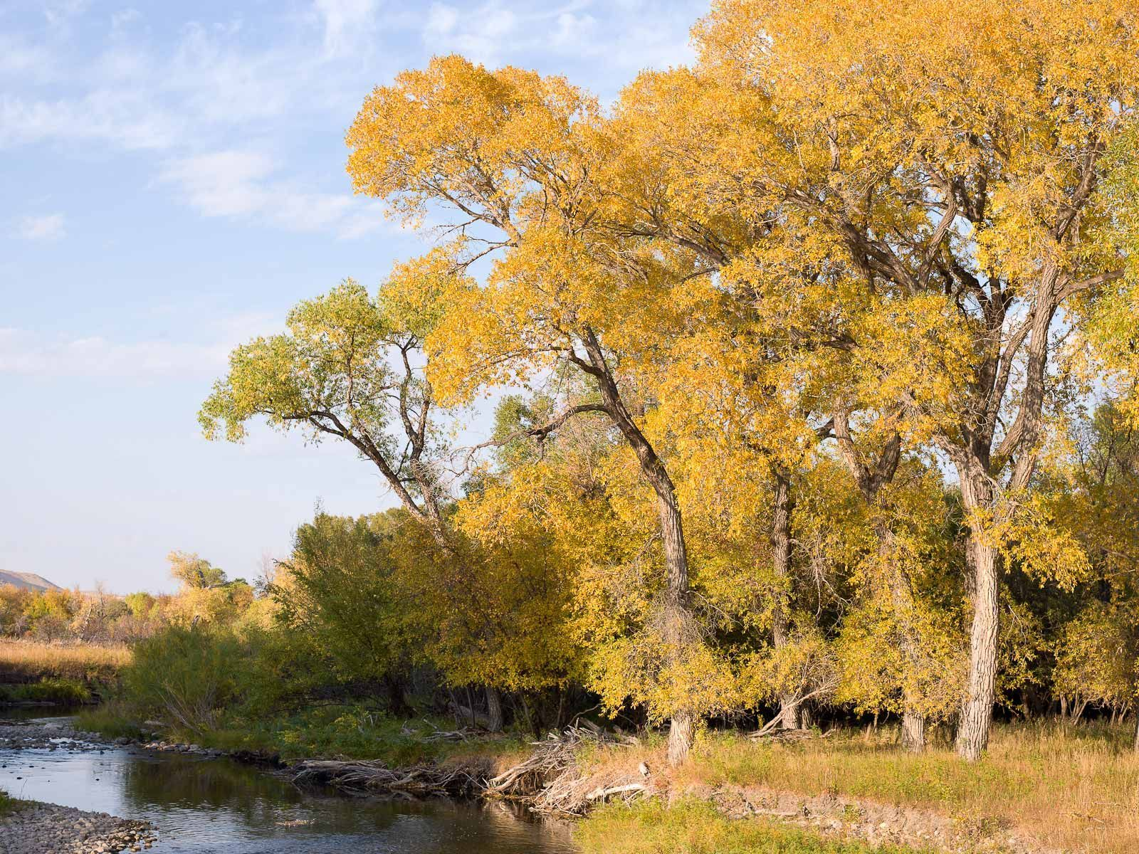 Cottonwoods Along a Wyoming Creek