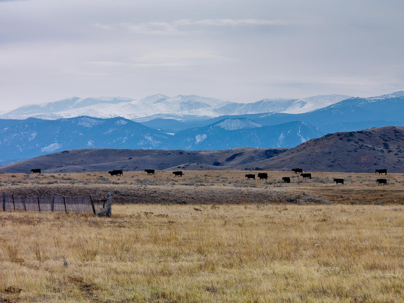 Cattle Grazing in the Shadow of the Big Horn Mountains