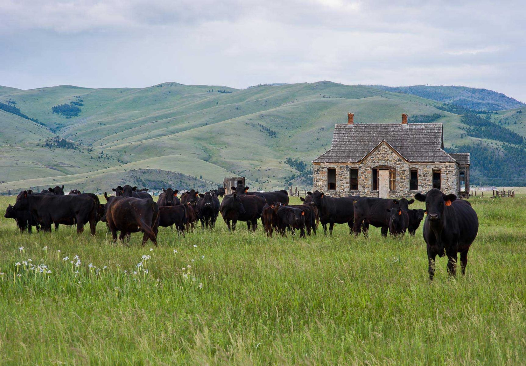 Quiet Day With Cows Near Helena