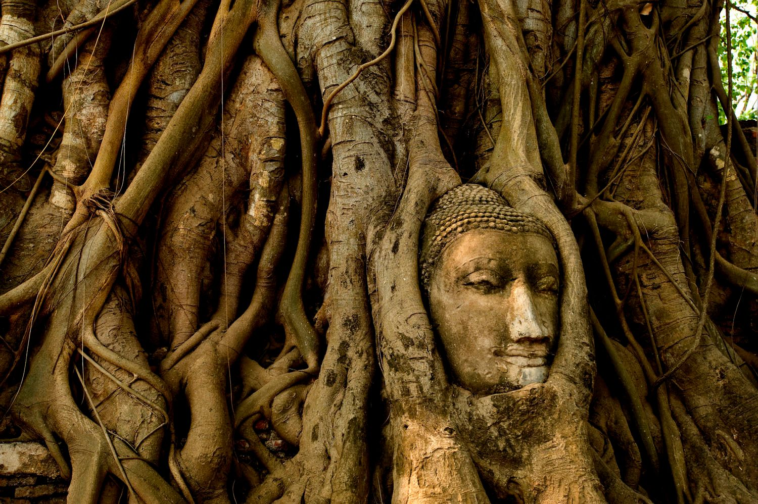 Buddha head amonst the roots of tree