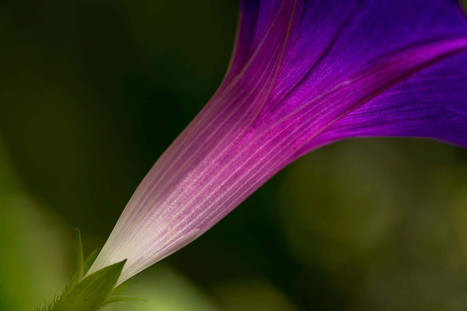 Morning Glory Flower