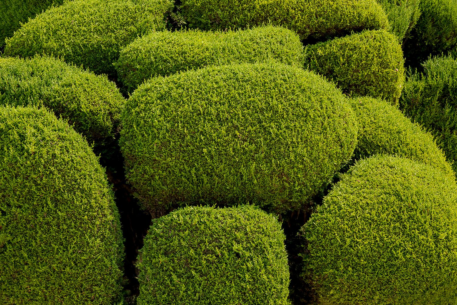 Green manicured trees