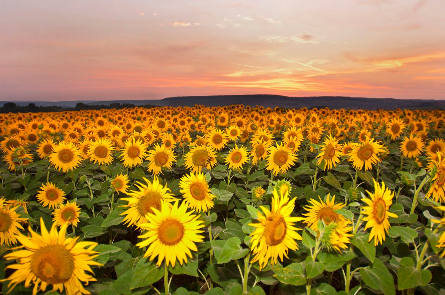 Field of Sunflowers at Sunset in the Cote d'Or