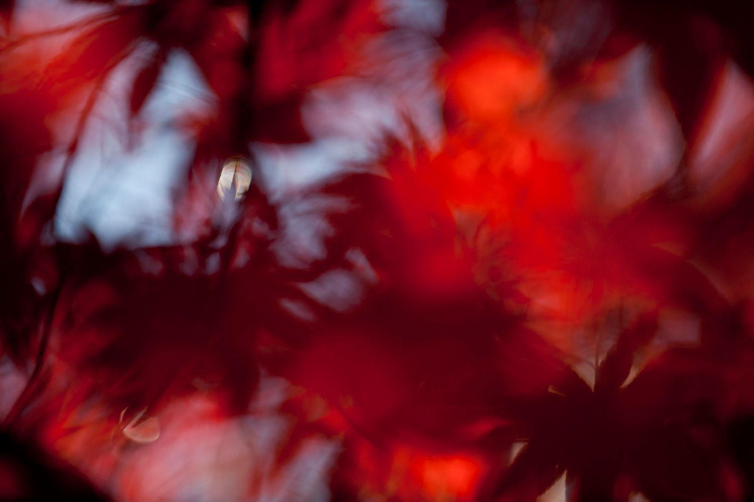 Abstract and Blurred: Red Maple Leaves