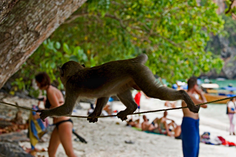 Monkey on Thailand Beach