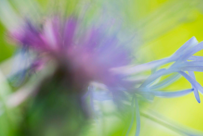 Purple Centaurea