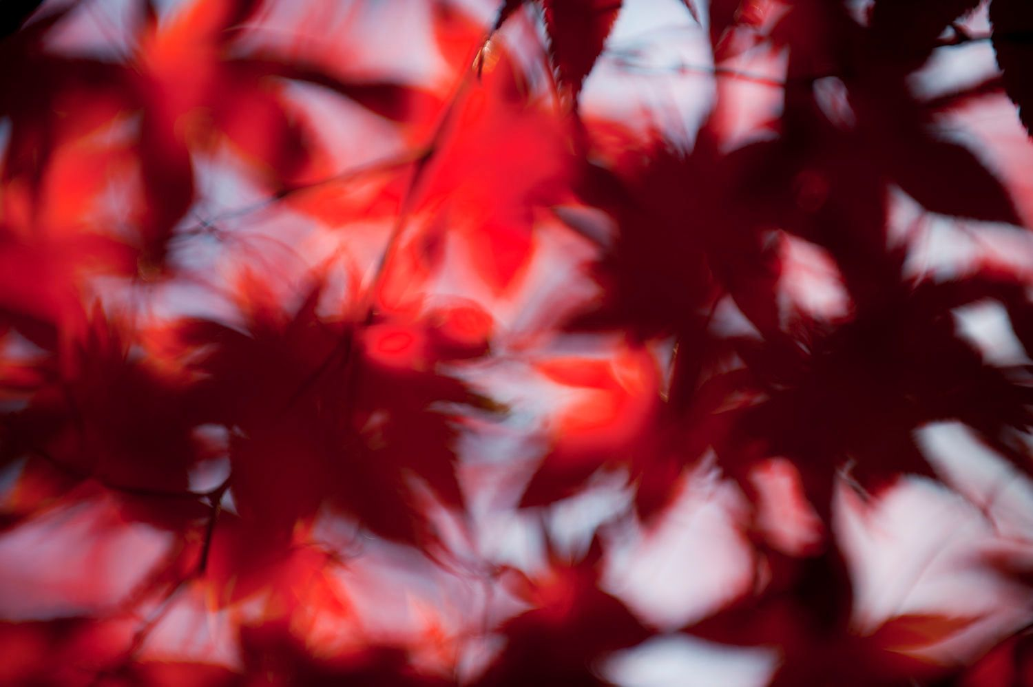 Abstract and Blurred Red Maple Leaves
