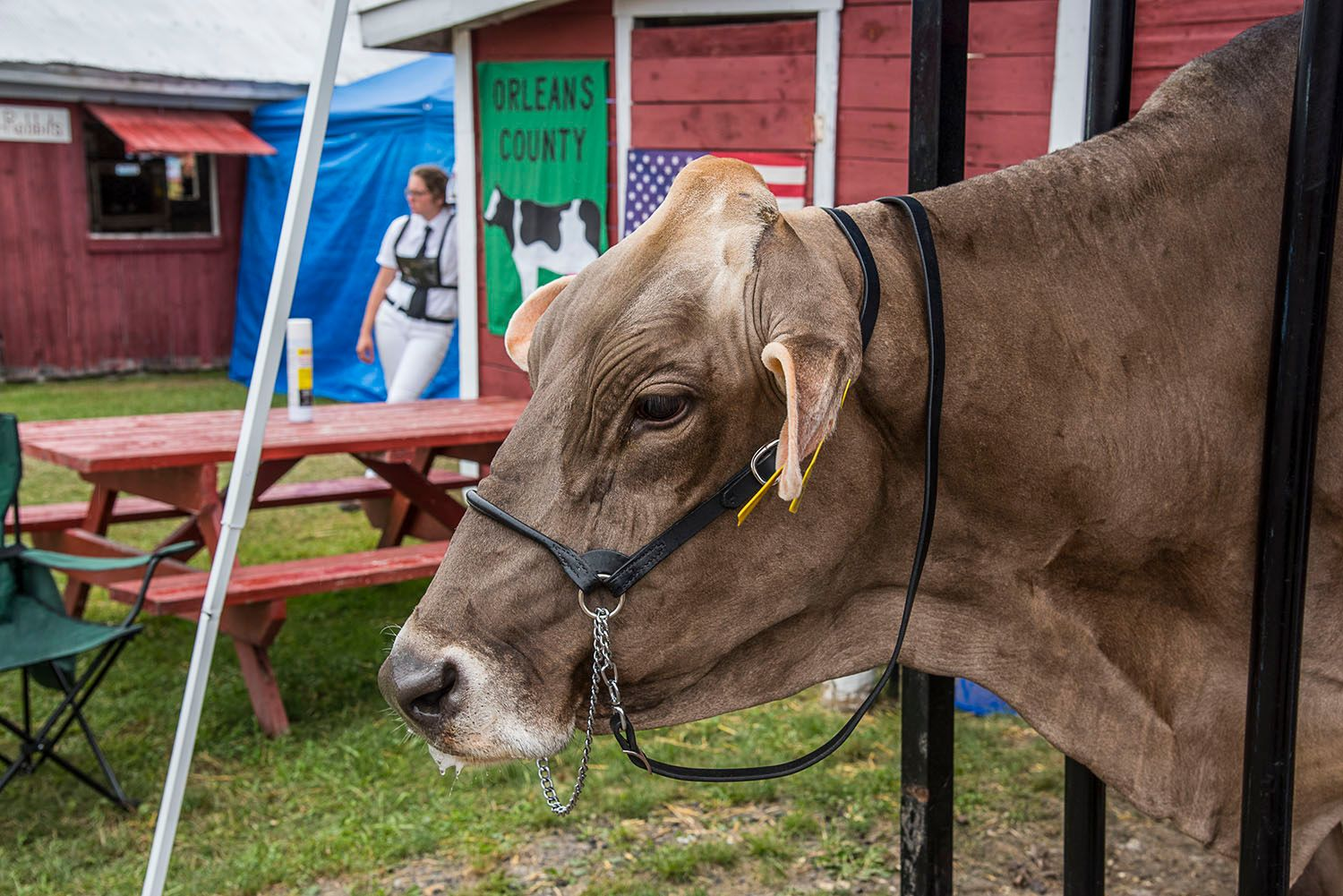 Cow being Prepared for Judging Competition