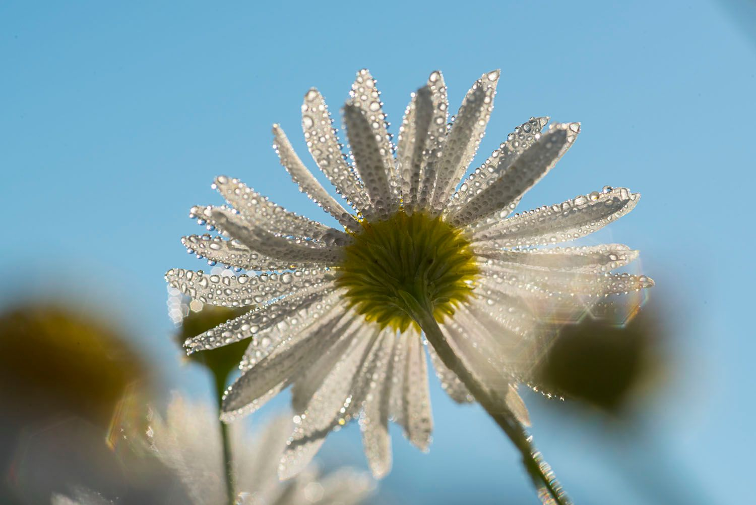 Daisy with Morning Dew