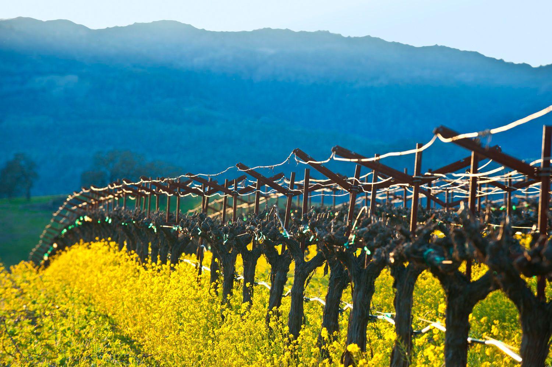 Napa Valley Grape Vines