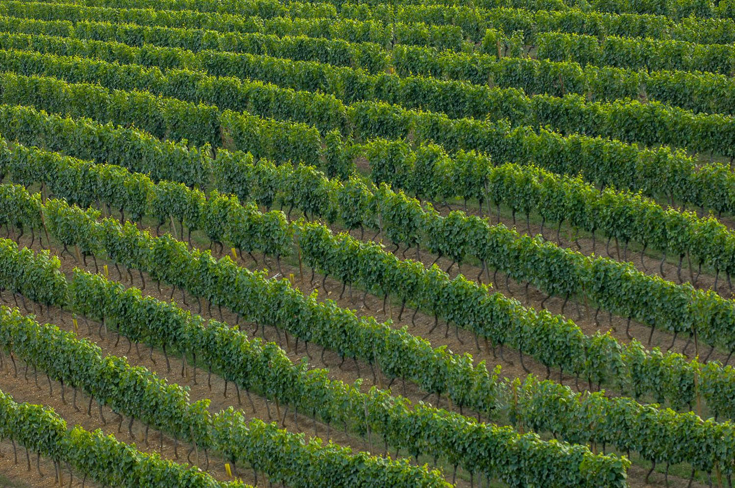 Fields of grape vines for wine, Cote d'Or, France