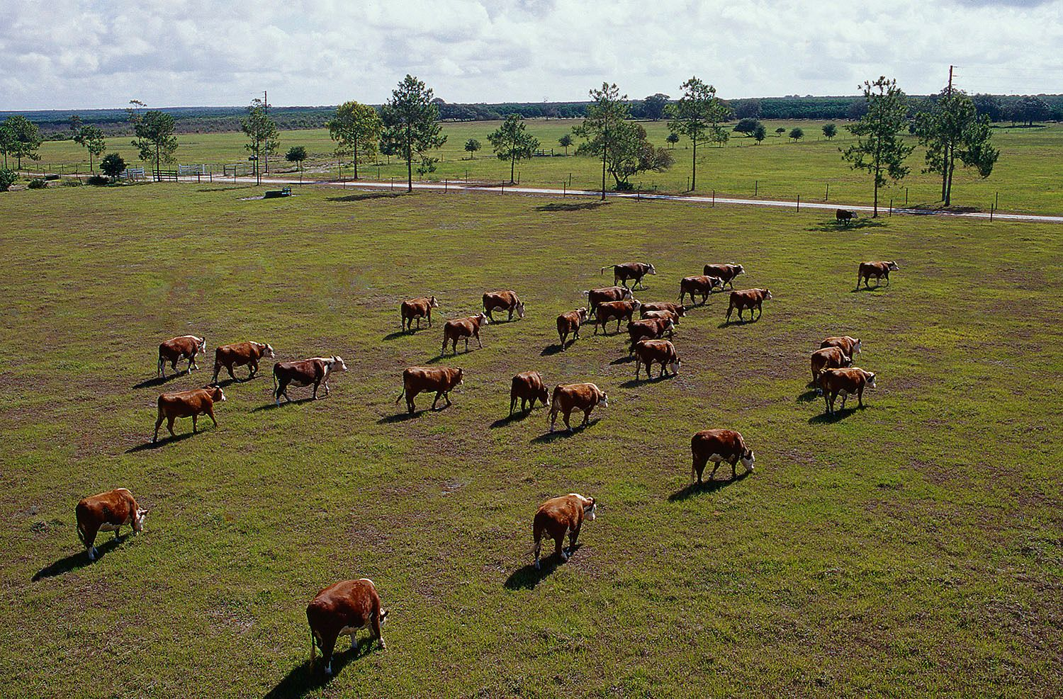 Grazing Cattle in Florida