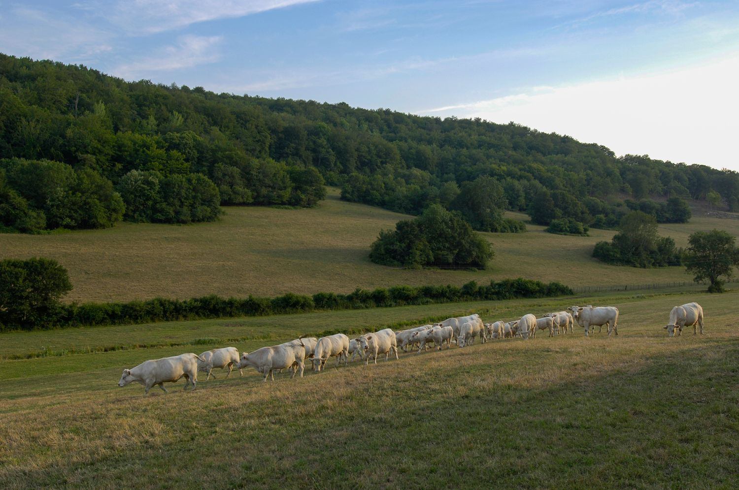White Cows in Field, France