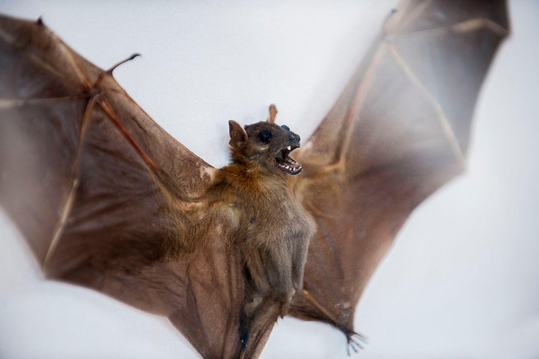Bat specimen behind Glass