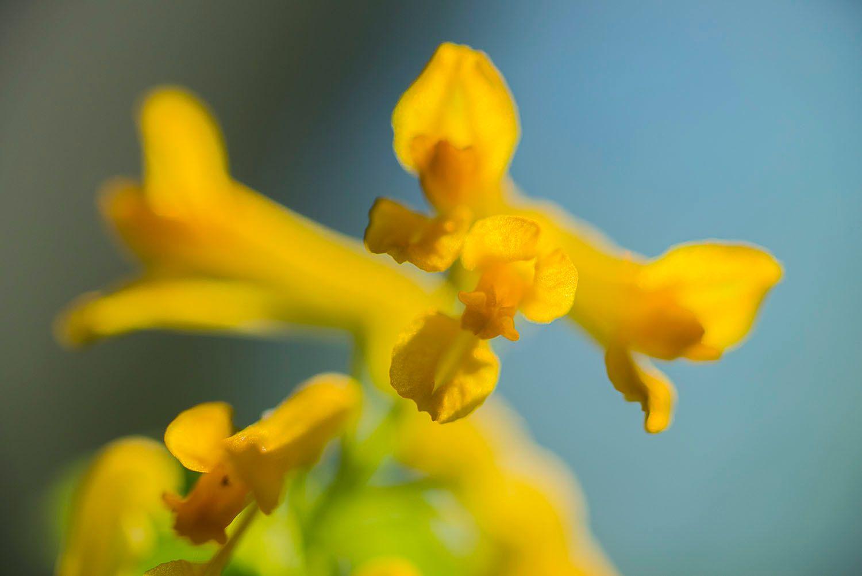 Yellow corydalis lutea