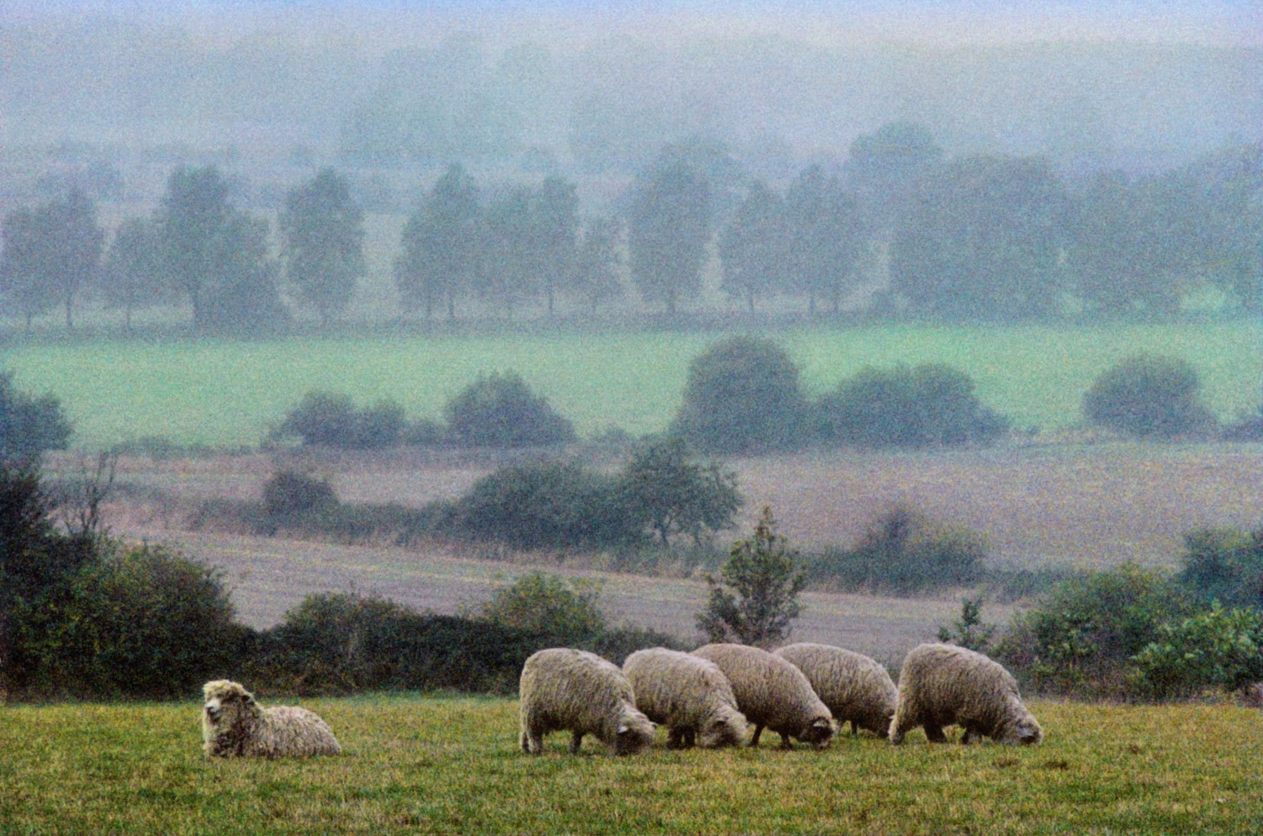 Row of Sheep, East Anglia